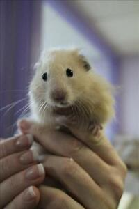 "Baby Male Small & Furry - Hamster: ""Gus"""