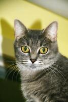 "Young Female Cat - Tabby - Grey: ""Elsa"""