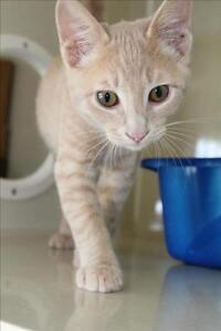 "Baby Male Cat - Domestic Short Hair: ""Yoda"""