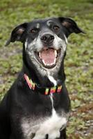 "Adult Female Dog - Border Collie-Catahoula Leopard Dog: ""Sierra"""