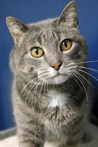 "Senior Male Cat - Domestic Short Hair-Tabby: ""Vega"""