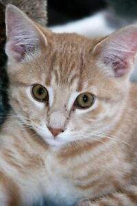 """Young Male Cat - Tabby - Orange: """"Tristan"""""""
