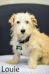 "Young Male Dog - Terrier: ""Louie"""