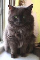 """Adult Male Cat - Domestic Long Hair-gray: """"Timmy"""""""