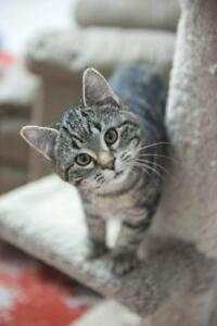 "Baby Male Cat - Domestic Short Hair: ""Stripe"""