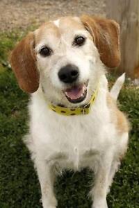"Adult Male Dog - Beagle: ""Duke"""