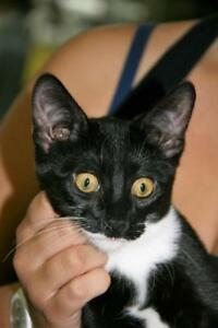 "Baby Male Cat - Domestic Short Hair (Black & White): ""Peppo"""