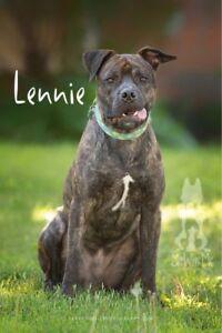 """Young Male Dog - Mastiff: """"Lennie"""""""