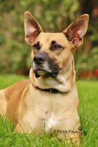 """Adult Female Dog - Boxer-Labrador Retriever: """"Lilly"""""""