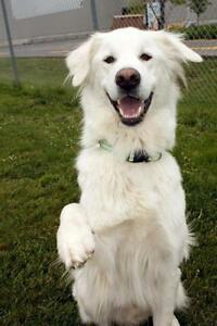 """Young Male Dog - Great Pyrenees-Retriever: """"Dreamer"""""""