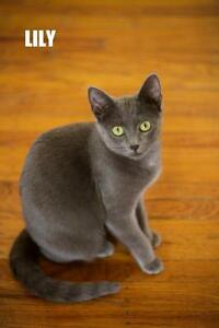 "Young Female Cat - Domestic Short Hair-gray: ""LILY & LILA"""