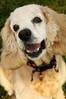 "Adult Female Dog - Cocker Spaniel: ""Lara"""