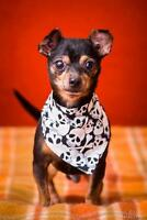 "Senior Male Dog - Chihuahua: ""Bernie"""