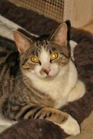 """Young Male Cat - Tabby: """"Ernie"""""""
