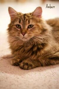 Young Female  - Domestic Long Hair - brown-Domestic Long Hair