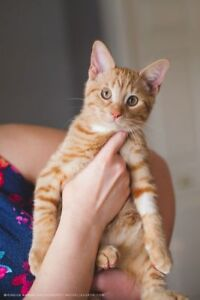 """Baby Male Cat - Domestic Short Hair: """"Kendall Babyfactory"""""""