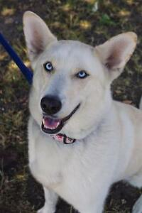 "Adult Female Dog - Husky-Labrador Retriever: ""Marley"""