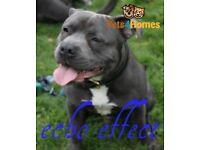 Blue & white Staffordshire bull terrier