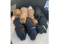 7 cockapoo for sale
