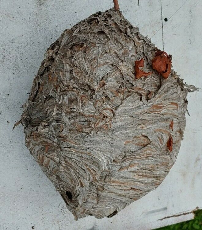 Huge Aerial Yellow Jacket Hornet Nest Bee Hive For Taxidermy Wasp Bees House