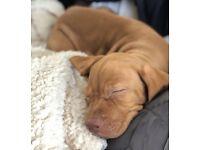 KC registered Hungarian Vizsla puppies for sale