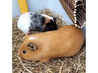 when ready baby Guinea Pigs