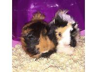 2 guinea pigs male