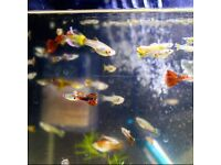 *HOME DELIVERY* Guppy Tropical Fish super colourful and healthy!!