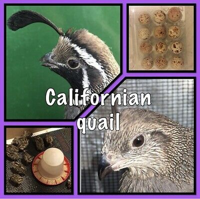 12 Californian quail hatching eggs