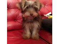 2 Yorkshire Terrier male puppies 4 months old