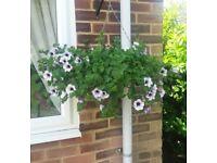 Plants Flowers Basket Baskets Hanging Petunia Garden.