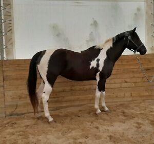 15.3 Black and White Mare