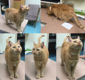 FOUND CAT TRURO: red tabby older neutered male