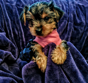 Waiting for you.....Yorkie Terrier babes
