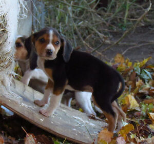 Walker Hound puppies