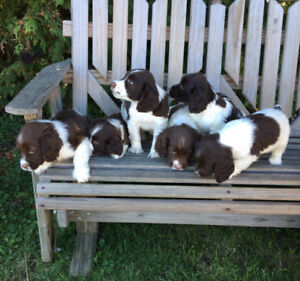 English Springer Spaniel Puppies - Male