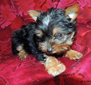ONLY ONE BABY GIRL YORKIE !!!!!!!!!!!!!!!!!!!!!!!!