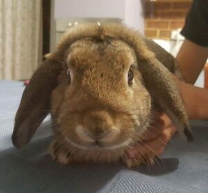 NEED GONE ASAP Rabbit for Sale Kenwick Gosnells Area Preview