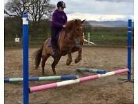 14hh mare for sale