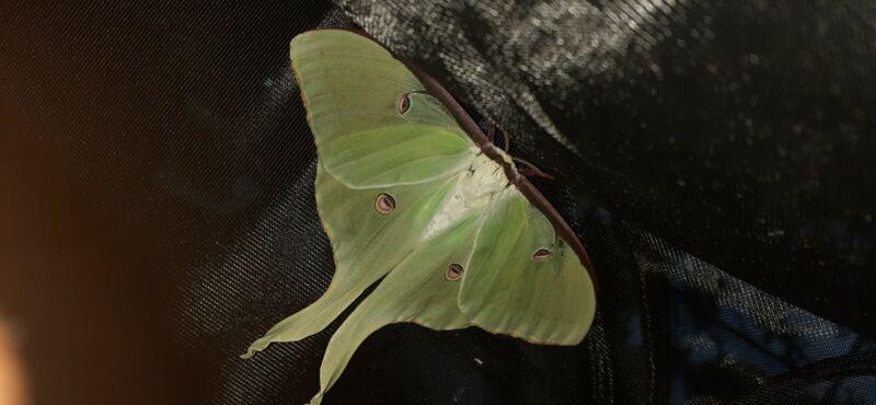 1× Luna Moth Cocoon