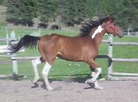 Lovely, tobiano Arabian/Curly 2 year old filly