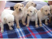 Labrador puppies to a good home
