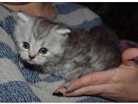 Grey kittens ready