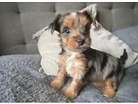Yorkshire Terrier Biewer Merle Black Friday deal