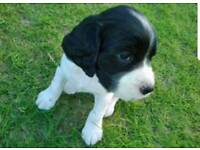 Chunky springer spaniel pups for sale