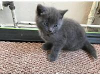 Pure British shorthair kitten with pedigree