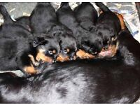 8 week old Rottweiler puppy for sale pure breed