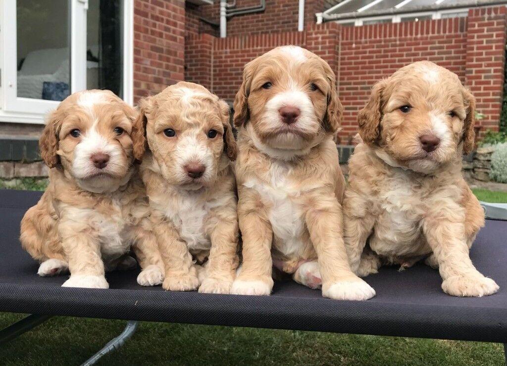 Cockapoo Puppies For Sale - Apricotchampagne  In Fareham -4946