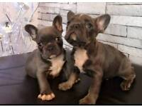 French Bulldog Puppiesacce