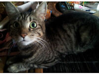MISSING LOST TABBY FEMALE CAT TEDDINGTON £50 REWARD